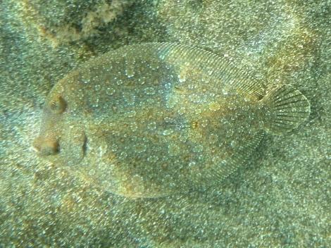 Flounder / Lenguado