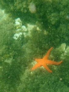 Starfish / Estrella del Mar