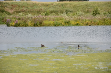 Crested Grebes, Jubilee River