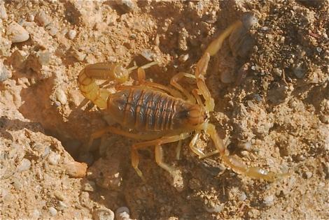 Scorpion - buthus occitanus