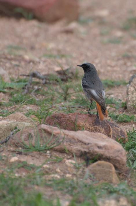 Sierra de Cabo de Gata - Black redstart (Phoenicurus ochruros)