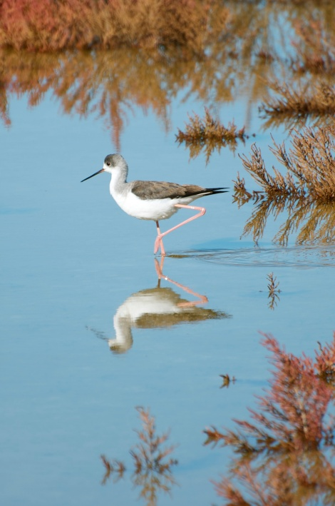 Western wetlands - Juvenile black-winged stilt (Himantopus himantopus)