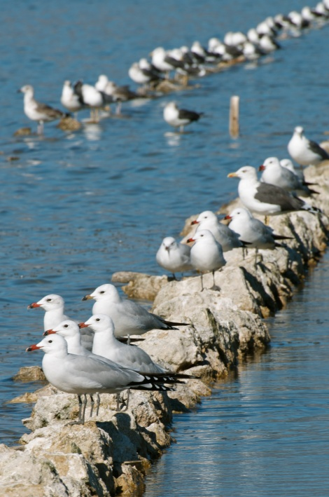 Western wetlands - Ring-billed gulls (Larus delawarensis)