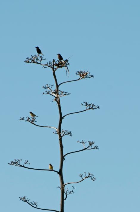 Black Wheatears & Bonelli's Warblers (??)