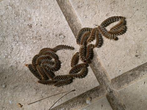 Processional caterpillar