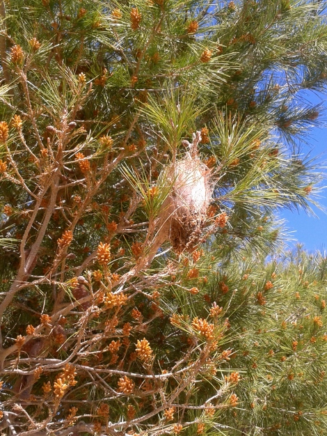 A nest in a pine tree, immediately outside my house!