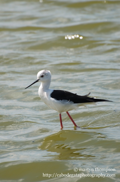 Juevenile Black winged stilt