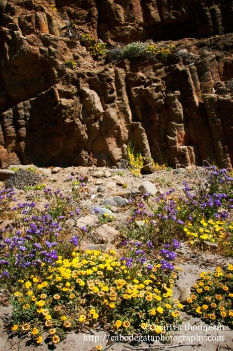 Cala Arena awash with colourful wild flowers