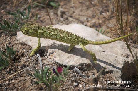 European Chameleon, Chamaeleo chamaeleon